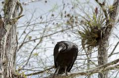 Attentive Black Vulture Stock Photos