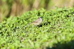 Palm Warbler quizzical look - stock photo