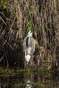 Great Blue Heron in Everglades Stock Photos