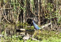 Purple Gallinule in swamp - stock photo