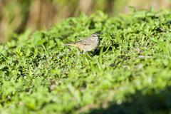 Palm Warbler pauses during foraging - stock photo