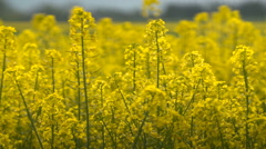 Beautifully yellow oilseed rape flowers in the field. Stock Footage