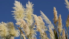 White pampa grass inflorescences  devorative grass in front  of sun 4K 2160p Stock Footage