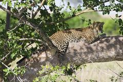 Leopard in shade of tree Stock Photos