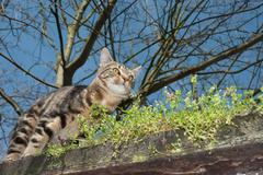 Tabby cat on the prowl Stock Photos