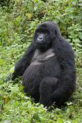 Female mountain gorilla Kuvituskuvat