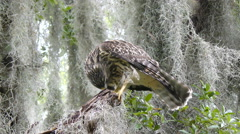 Young red-shouldered hawk feeding on dragonfly Stock Footage