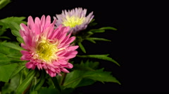 Aster Flower Time-lapse Stock Footage