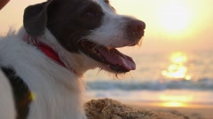 Beautiful Portrait of Cute Dog on Beach at Sunset over Sea Stock Footage