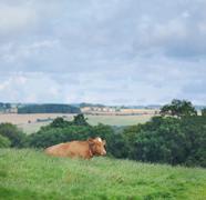 Guernsey cow Stock Photos