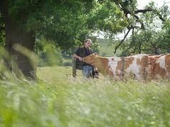 Farmer with Guernsey calves - stock photo