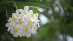 Flower Frangipani - stock footage