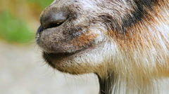 4K Close Up of Goat Mouth Chewing Cud, Springtime Season - stock footage