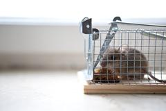Mouse in trap Stock Photos