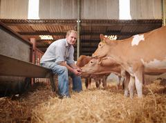 Farmer with Guernsey calves Stock Photos