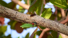 Coppersmith Barbet Stock Footage