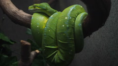 Green Snake From The Amazon Stock Footage