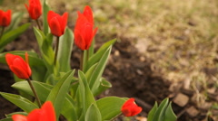 Red tulips in spring day, top view Stock Footage