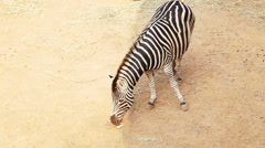 Zebra from top view with brown sand background in sun and shade Stock Footage