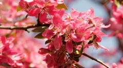 Lovely pink spring flowers, flowering cherry tree Sakura.  - stock footage