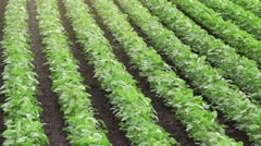 Rows of cultivated soybean crops - stock footage