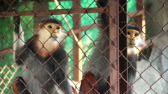 Red-shanked douc five colors endanger wild monkey - stock footage