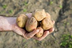 Man holding potatoes Stock Photos