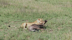 Lioness (Panthera leo) with  kill Stock Footage