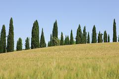 Cypress trees and wheat field near Siena, Italy - stock photo