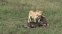 Lioness (Panthera leo) sisters Stock Footage