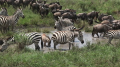 Zebra's and Wildebeests in a pond Stock Footage