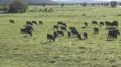 Cows Grazing on Farmland, NZ Stock Footage