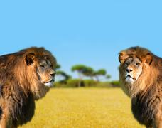 Two big male lion - stock photo