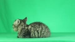 Striped cat looking on a green screen, side view Stock Footage