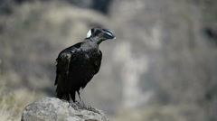 Thick-billed Raven (Corvus crassirostris) adult, standing on rock Stock Footage