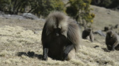 Gelada baboon eating roots (Theropithecus gelada),Simien Mountains National Park - stock footage