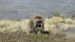 Gelada baboon eating grass (Theropithecus gelada), Simien Mountains National Par Stock Footage