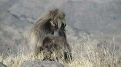 Gelada baboon (Theropithecus gelada), Simien Mountains National Park, Ethiopia Stock Footage