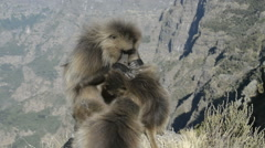 Gelada baboons cleaning coat (Theropithecus gelada),Simien Mountains National Stock Footage