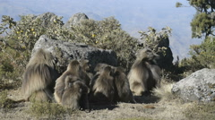 Group of the Gelada baboon (Theropithecus gelada),Simien Mountains National Park - stock footage