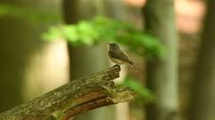 Lejsek maly - Ficedula parva - Red-breasted Flycatcher - stock footage