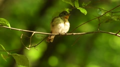 Red-breasted Flycatcher - Ficedula parva sitting and singing on the branch - stock footage