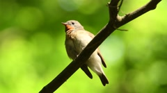 Red-breasted Flycatcher - Ficedula parva sitting and singing Stock Footage