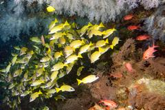 Inside a school of yellow grouper fish close up in the deep blue sea in maldi - stock photo