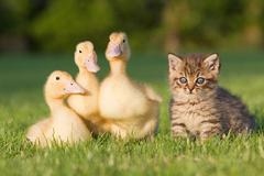 Three ducklings and kitten on grass Stock Photos
