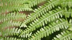 Fern  leaf in the wind Stock Footage