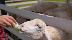 Woman Hand Feeding White Cute Sheep with Milk Bottle Stock Footage
