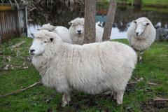 close up new zealand merino sheep in rural livestock farm - stock photo