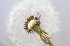 Seeds of fluffy white dandelion abstract macro photo Stock Photos