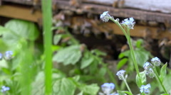 Flower and old wooden hives full of bees in nature - close up shot + audio Stock Footage